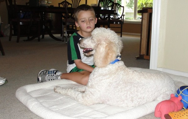 <h2>Allie &#8211; Standard Poodle</h2>