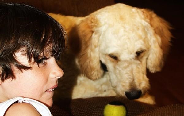 <h2>Finley &#8211; Goldendoodle </h2>