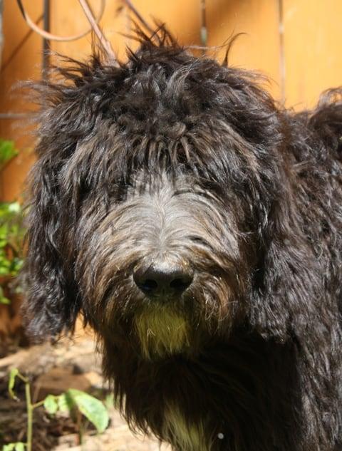 service dog puppy