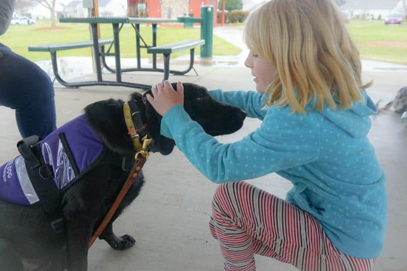 autism service dog labrador