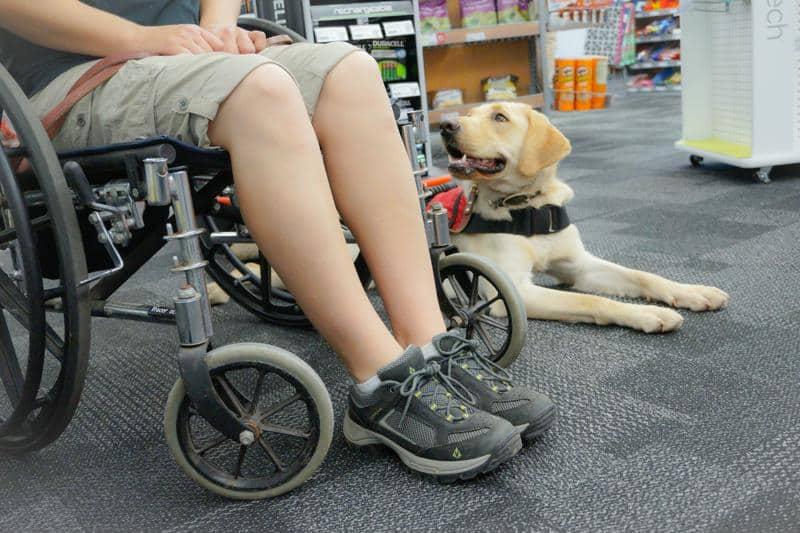 mobility service dog labrador