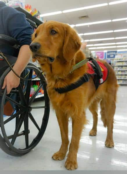 Mobility service dog golden retriever