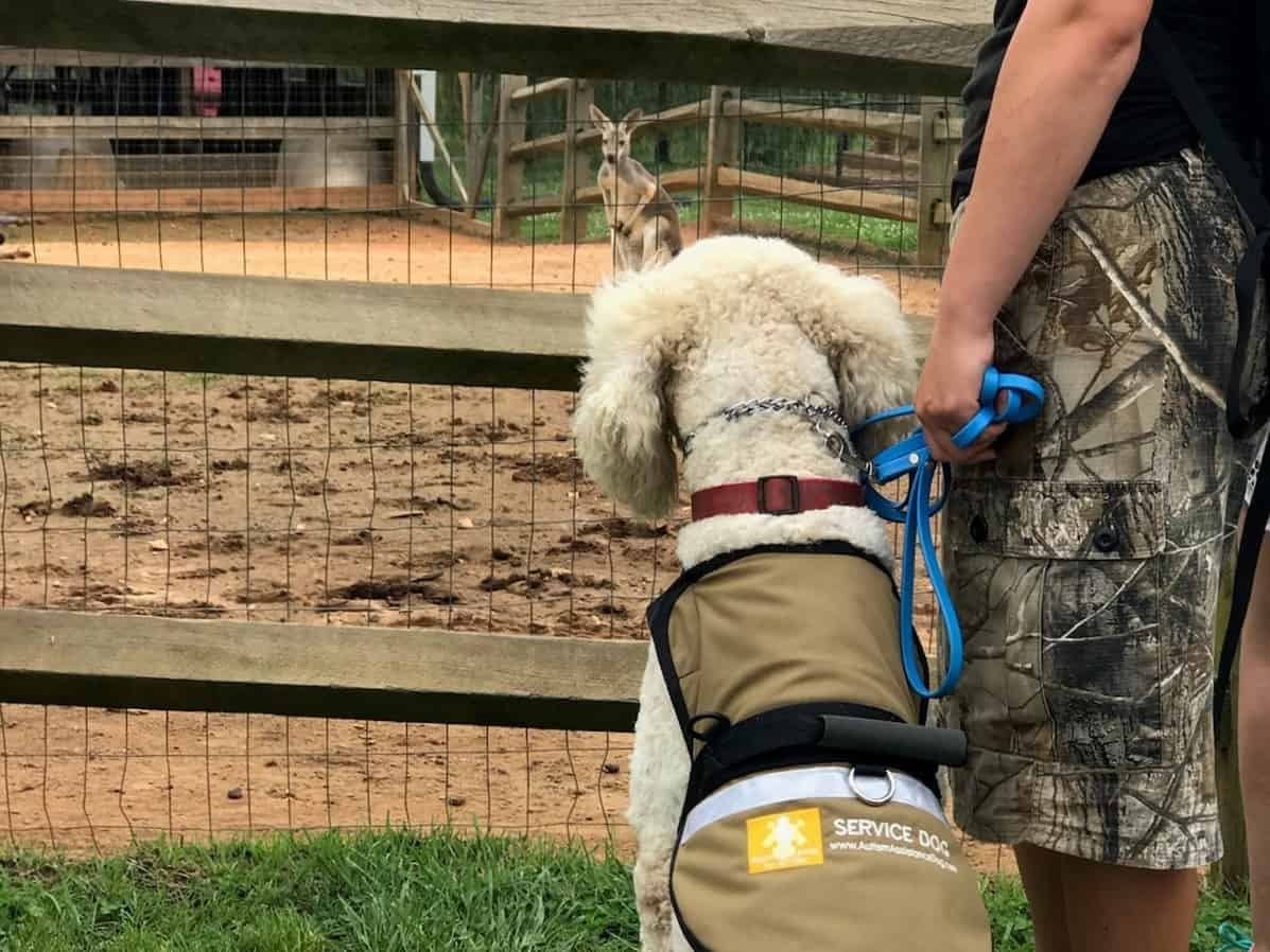 service dog in training zoo socialization