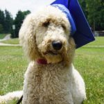 Goldendoodle Service Dog Delivery