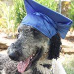 Labradoodle Service Dog Delivery