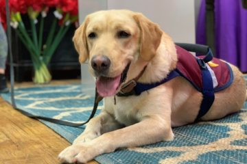 Labrador Retriever Service Dog