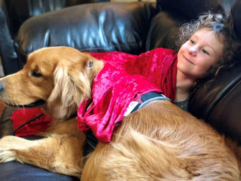 Golden Retriever Service Dog in training for autism assistance