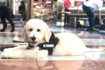 service dog in training at the mall