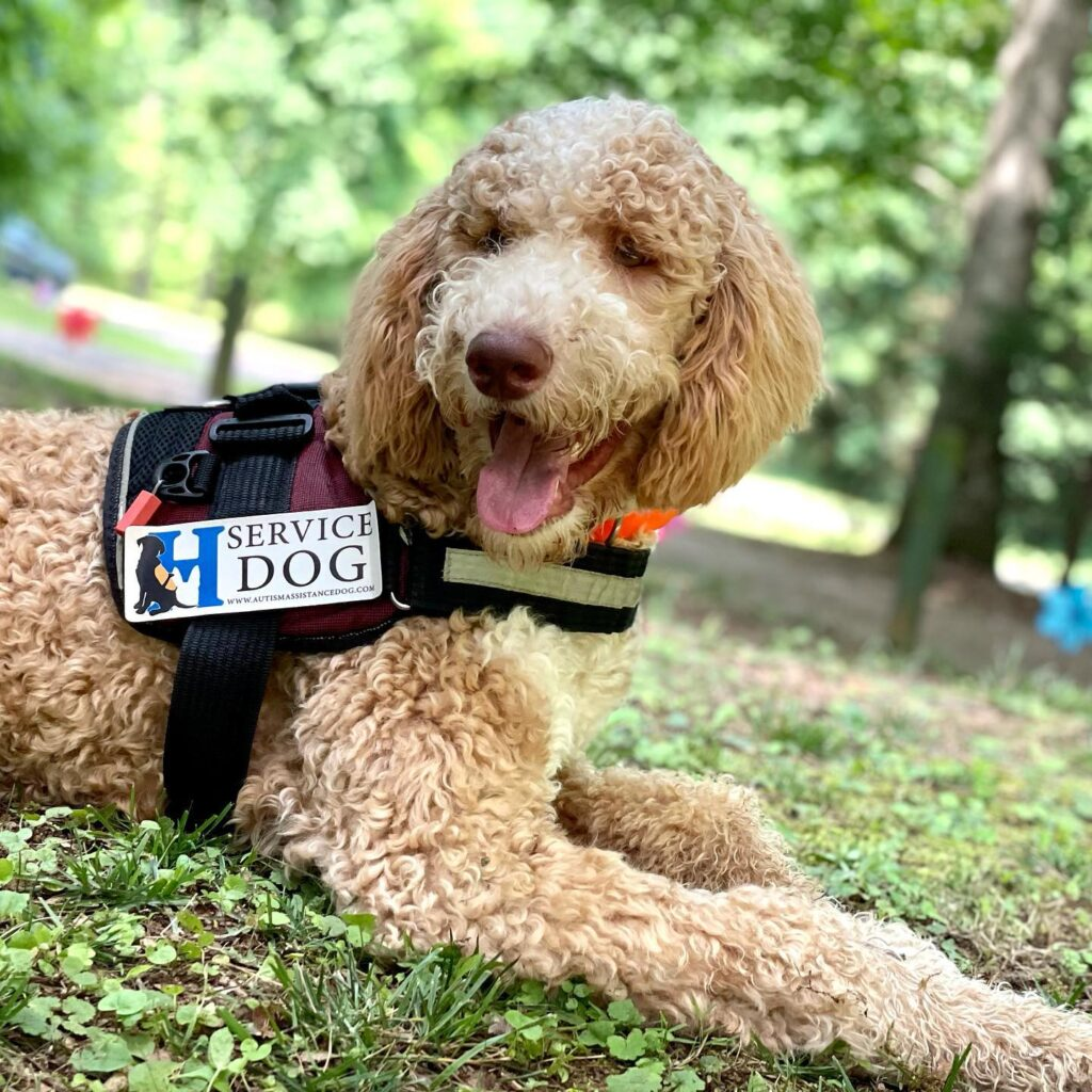 doodle service dog in training